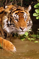 Preview iPhone wallpaper Tiger, water, wildlife