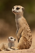 Preview iPhone wallpaper Two meerkats, look at bee