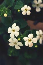 Florzinhas brancas, nebulosas, folhas verdes