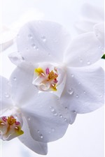 White phalaenopsis, water droplets, petals