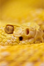 Yellow rattlesnake, eye, look