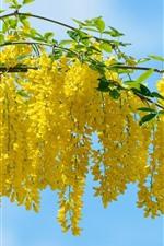 Acacia muitas flores amarelas