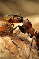 Preview iPhone wallpaper Ant eat dew, water droplet, insect macro photography