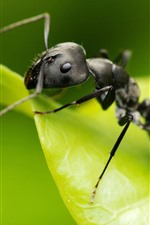 Preview iPhone wallpaper Ant macro photography, insect, green leaf
