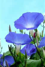 Preview iPhone wallpaper Blue morning glory, sky background