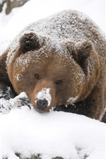Preview iPhone wallpaper Brown bear, look, snow, winter