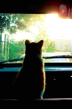 Preview iPhone wallpaper Cat in car, look out window, sunlight