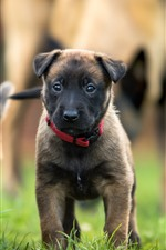 Preview iPhone wallpaper Cute belgian shepherd dog front view