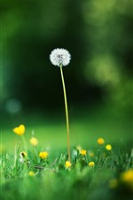 Preview iPhone wallpaper Dandelion and yellow flowers, green grass