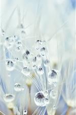 Preview iPhone wallpaper Dandelion, water droplets, dew