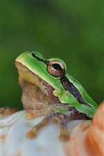 Preview iPhone wallpaper Frog, eyes, shell