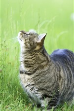 Preview iPhone wallpaper Gray cat look up, green grass