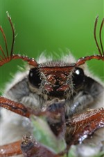 Preview iPhone wallpaper Insect macro photography, beetle, antennae