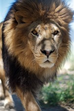Preview iPhone wallpaper Lion walk to you, mane, front view, zoo