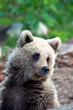 Preview iPhone wallpaper Little brown bear look at you, wildlife