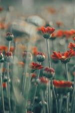 Many red flowers, petals, stem, hazy
