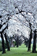 Many white flowers, trees, spring, green grass