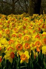 iPhone壁紙のプレビュー 多くの黄色い水仙の花、庭