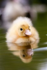 One duckling, water, hazy