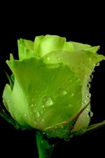 One green rose, water droplets, black background