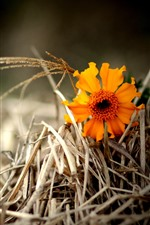 Preview iPhone wallpaper One orange flower, dry grass