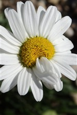 Preview iPhone wallpaper One white daisy close-up, petals