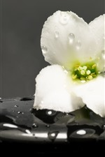 Preview iPhone wallpaper One white flower, water droplets, black stone