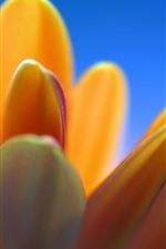 預覽iPhone桌布 橙色的花瓣特寫,藍色背景