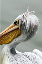 Preview iPhone wallpaper Pelican, bird close-up, beak, white feathers