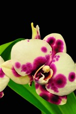Pink and white spot phalaenopsis, green leaves, black background
