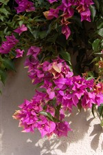 Preview iPhone wallpaper Pink bougainvillea, wall