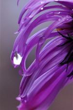 Vorschau des iPhone Hintergrundbilder Rosa Chrysanthemen-Nahaufnahme, Blütenblätter, Wassertropfen