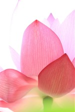 Preview iPhone wallpaper Pink lotus, petals, white background