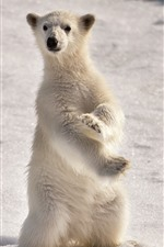 Preview iPhone wallpaper Polar bear cub, standing up