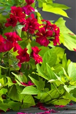 Preview iPhone wallpaper Red flowers, green leaves, bindweed