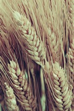 Preview iPhone wallpaper Ripe wheat