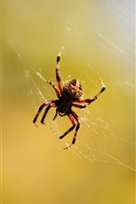 Preview iPhone wallpaper Spider, web, insect, hazy background