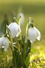 Preview iPhone wallpaper Spring flowers, white snowdrops