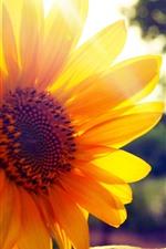 Preview iPhone wallpaper Sunflower close-up, yellow petals, backlight