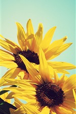 Preview iPhone wallpaper Sunflowers, yellow petals, blue background