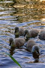 Vorschau des iPhone Hintergrundbilder Schwanenfamilie, Wasser, See