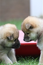 Preview iPhone wallpaper Two cute puppies, furry dogs