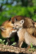 Preview iPhone wallpaper Two foxes, mother and cub