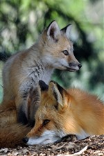 Preview iPhone wallpaper Two foxes, rest