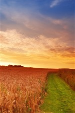 Wheat field, sunset, path