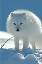 Preview iPhone wallpaper White fox, front view, snow