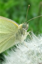 Yellow butterfly and dandelion