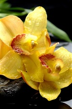 Yellow phalaenopsis, flowers, water droplets, stones