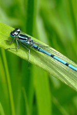 Preview iPhone wallpaper Blue dragonfly, rest, green grass