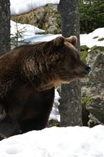 Urso-pardo, neve, inverno, rochas